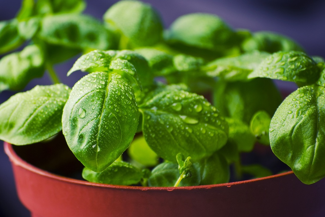 Basil decreases inflammation which contributes to a great number of illnesses.
