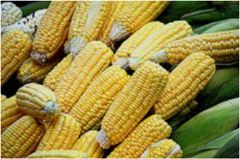Sweet corn is a good source of vitamins B1 and B5, folate, manganese, and phosphorus, which is needed to build strong bones and teeth, helps kidneys eliminate waste, helps transmit nerve impulses, and helps keep energy levels stable.
